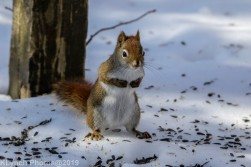 RedSquirrel_27