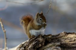 RedSquirrel_28