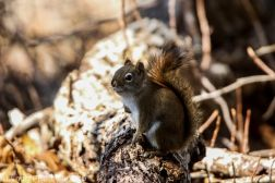 RedSquirrel_29