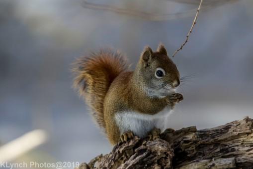 RedSquirrel_29