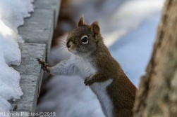 RedSquirrel_3