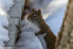 RedSquirrel_3