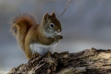 RedSquirrel_30