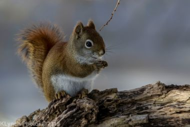 RedSquirrel_30