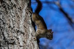 RedSquirrel_31
