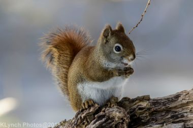 RedSquirrel_32