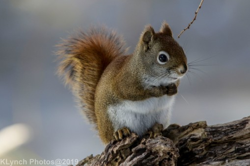 RedSquirrel_33