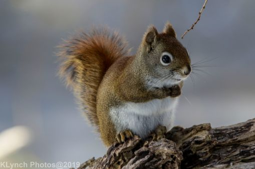 RedSquirrel_33