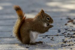 RedSquirrel_34