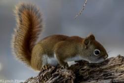 RedSquirrel_34