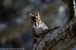 RedSquirrel_36