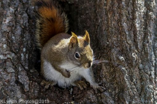 RedSquirrel_37