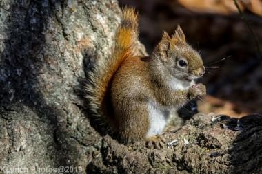 RedSquirrel_39