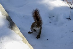 RedSquirrel_39