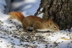 RedSquirrel_4
