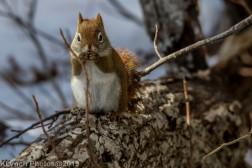 RedSquirrel_40