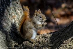 RedSquirrel_42