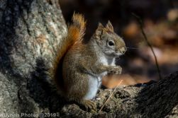 RedSquirrel_44
