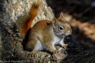 RedSquirrel_47