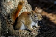 RedSquirrel_47