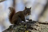 RedSquirrel_49