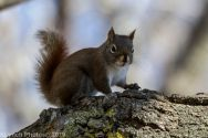 RedSquirrel_49