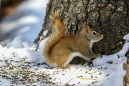 RedSquirrel_5