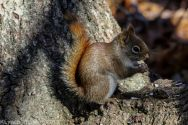 RedSquirrel_50
