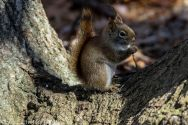 RedSquirrel_51