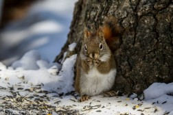 RedSquirrel_6