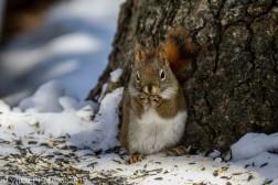 RedSquirrel_6