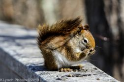 RedSquirrel_7