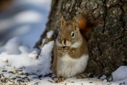 RedSquirrel_8