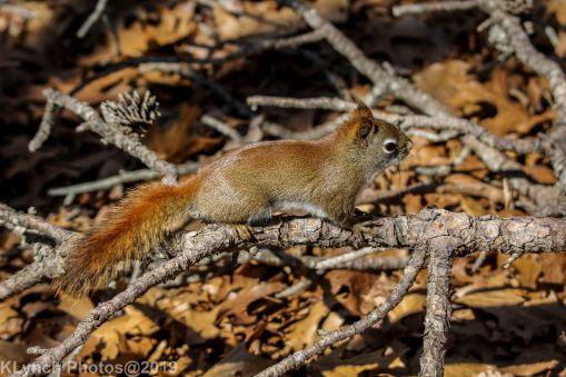 RedSquirrels