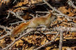 RedSquirrels_1