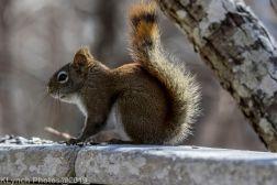 RedSquirrels_14