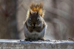 RedSquirrels_15