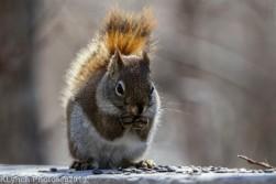 RedSquirrels_17