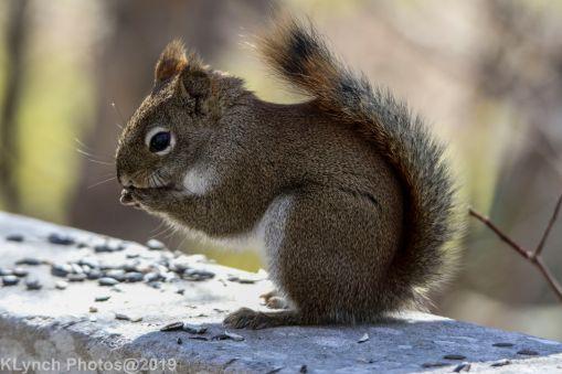 RedSquirrels_18