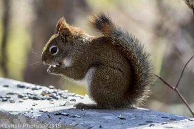 RedSquirrels_19