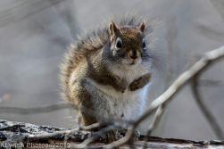 RedSquirrels_23