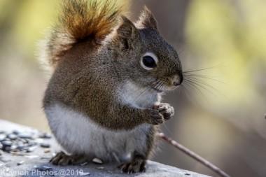 RedSquirrels_25