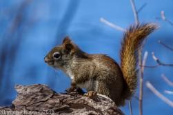 RedSquirrels_4