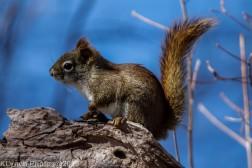 RedSquirrels_6