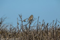SparrowA_3