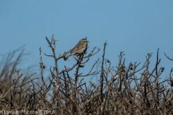 SparrowA_7