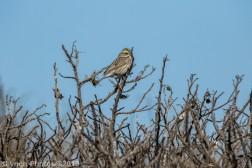 SparrowA_9