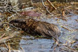 Beaver_1