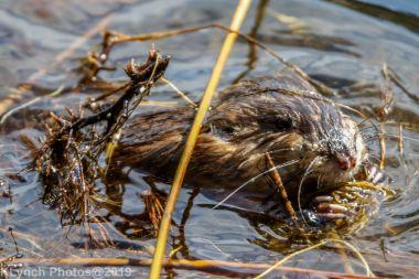 Beaver_10