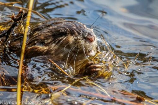 Beaver_11